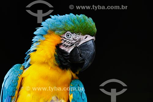 Arara-Canindé (Ara ararauna) - também conhecida como Arara-de-barriga-amarela - na Reserva Biológica da Cachoeira do Santuário  - Presidente Figueiredo - Amazonas (AM) - Brasil