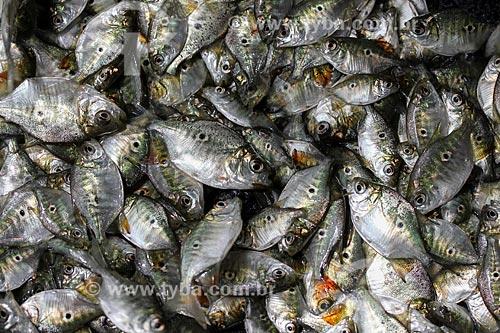 Alevinos de tambaqui (Colossoma macropomum) na Reserva Biológica da Cachoeira do Santuário  - Presidente Figueiredo - Amazonas (AM) - Brasil