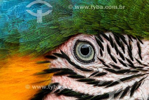 Detalhe de Arara-Canindé (Ara ararauna) - também conhecida como Arara-de-barriga-amarela - na Reserva Biológica da Cachoeira do Santuário  - Presidente Figueiredo - Amazonas (AM) - Brasil