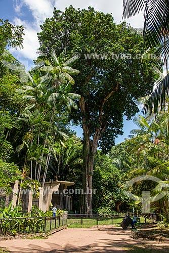 Árvore Guajará (Chrysophyllum venezuelanense) no Museu Emílio Goeldi  - Belém - Pará (PA) - Brasil