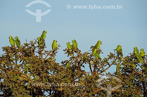 Bando de Papagaios (Amazona aestiva) pousados em árvore do Parque Nacional das Emas  - Mineiros - Goiás (GO) - Brasil