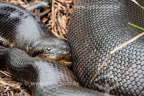 Detalhe de sucuri (Eunectes murinus) no Parque Nacional das Emas  - Mineiros - Goiás (GO) - Brasil