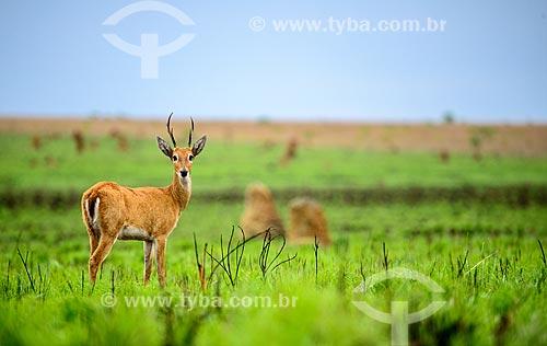 Veado-campeiro (Ozotoceros bezoarticus) - também chamado veado-branco ou veado-galheiro - próximo aos cupinzeiros do Parque Nacional das Emas  - Mineiros - Goiás (GO) - Brasil