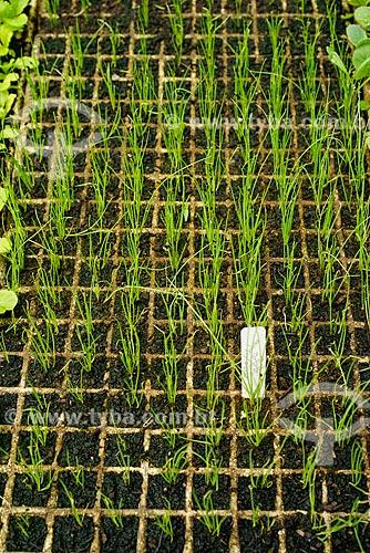 Estufa com mudas de cebolinha na fazenda Vale das Palmeiras  - Teresópolis - Rio de Janeiro (RJ) - Brasil
