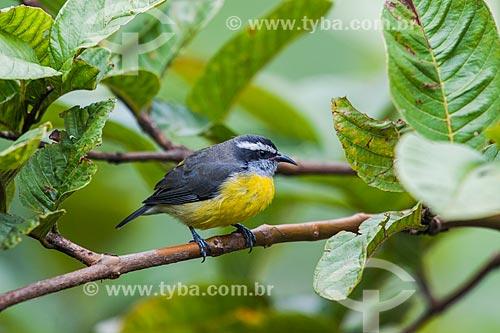 Detalhe do Cambacica (Coereba flaveola) - também conhecido como sebinho, sebito ou caga-sebo - no Parque Nacional de Itatiaia  - Itatiaia - Rio de Janeiro (RJ) - Brasil