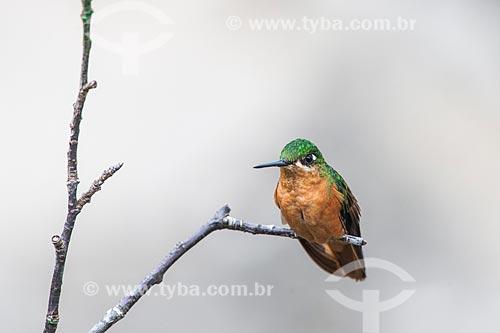Detalhe de Beija-flor-rubi (Clytolaema rubricauda) no Parque Nacional de Itatiaia  - Itatiaia - Rio de Janeiro (RJ) - Brasil