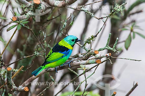 Detalhe de Saíra-sete-cores (Tangara seledon) no Parque Nacional de Itatiaia  - Itatiaia - Rio de Janeiro (RJ) - Brasil