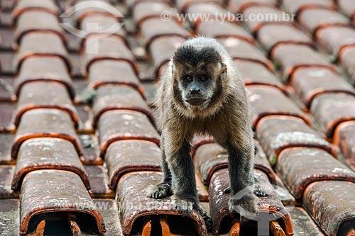 Macaco-prego (Sapajus nigritus) no Parque Nacional de Itatiaia  - Itatiaia - Rio de Janeiro (RJ) - Brasil