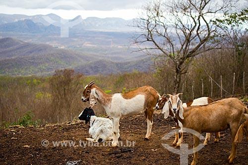 Criação de cabras na área rural de Quixadá  - Quixadá - Ceará (CE) - Brasil