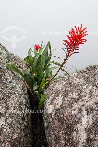 Detalhe de Bromélia no Bico do Papagaio - Parque Nacional da Tijuca  - Rio de Janeiro - Rio de Janeiro (RJ) - Brasil