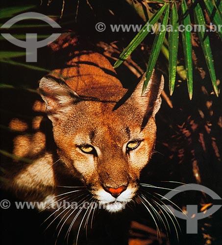 Detalhe de onça-parda (Puma concolor) - também conhecida como suçuarana  - Brasil