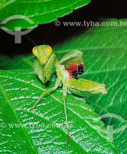 Detalhe de Louva-a-Deus (Mantis religiosa) com as asas curtas sobre folha de Fleurya  - Brasil