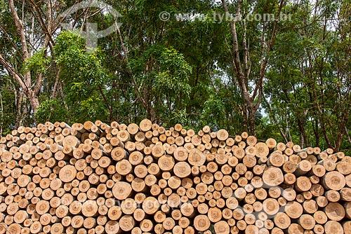Detalhe de troncos de Paricá (Schizolobium parahyba var amazonicum) e árvores de mogno (Swietenia macrophylla) ao fundo  - Paragominas - Pará (PA) - Brasil