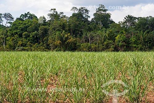 Plantação de cana-de-açúcar em antiga área Floresta Amazônica com árvores nativas ao fundo  - Paragominas - Pará (PA) - Brasil