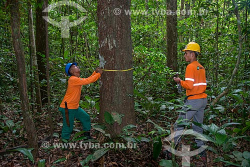 Técnicos do Instituto Floresta Tropical (IFT) medindo árvore  - Paragominas - Pará (PA) - Brasil