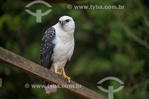 Gavião-branco (Leucopternis Albicollis) - também conhecido como Gavião-pombo-da-Amazônia - na Floresta Amazônica  - Paragominas - Pará (PA) - Brasil