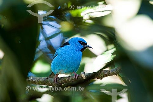 Saí-azul (Dacnis cayana) - também conhecido como Saí-bicudo - na Área de Proteção Ambiental da Serrinha do Alambari  - Resende - Rio de Janeiro (RJ) - Brasil