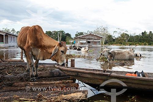 Gado em superfície flutuante durante a enchente do Rio Solimões  - Anamã - Amazonas (AM) - Brasil