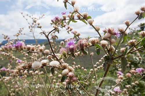 Detalhe de flores da Calliandra brevipes no Parque Estadual dos Pireneus  - Pirenópolis - Goiás (GO) - Brasil