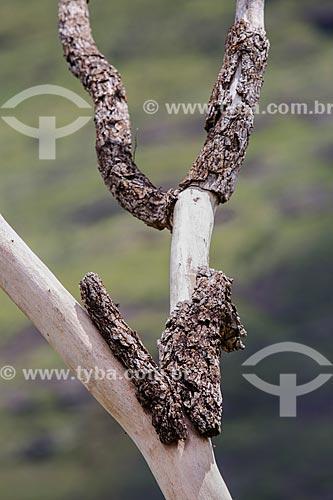 Detalhe de árvore seca e sem casca no Parque Estadual dos Pireneus  - Pirenópolis - Goiás (GO) - Brasil