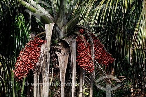 Buriti (Mauritia flexuosa)  - Manaus - Amazonas (AM) - Brasil