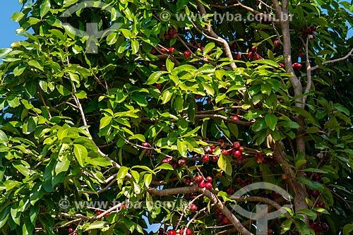 Jambo ainda no jambeiro (Syzygium jambos)  - Santarém - Pará (PA) - Brasil