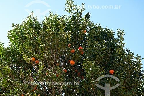 Tangerina ainda na tangerineira  - Unaí - Minas Gerais (MG) - Brasil
