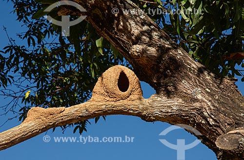 Ninho de João-de-barro (Furnarius rufus) - também conhecido como Forneiro  - Unaí - Minas Gerais (MG) - Brasil