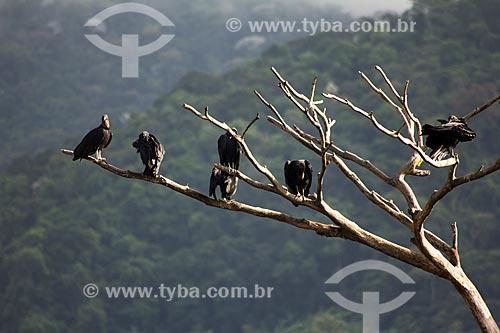 Urubu-de-cabeça-preta  - Rio de Janeiro - Rio de Janeiro (RJ) - Brasil