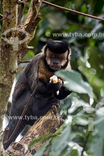 Macaco-prego (Sapajus nigritus) comendo pão  - Rio de Janeiro - Rio de Janeiro (RJ) - Brasil