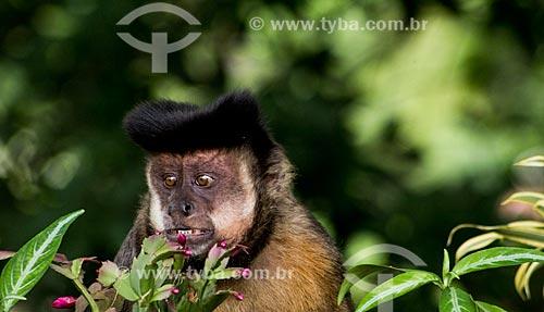 Macaco-prego (Sapajus nigritus)  - Rio de Janeiro - Rio de Janeiro (RJ) - Brasil