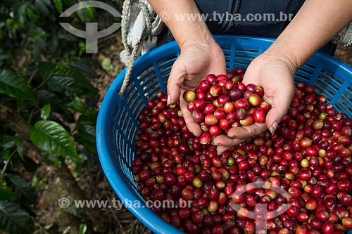 Detalhe de colheita de café  - Antigua Guatemala - Departamento de El Quiché - República de Guatemala