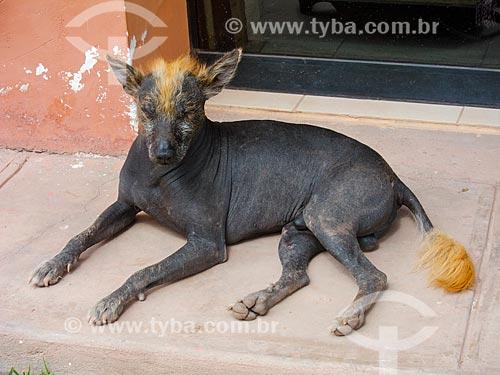 Cão pelado peruano em Cusco  - Cusco - Departamento de Cusco - Peru