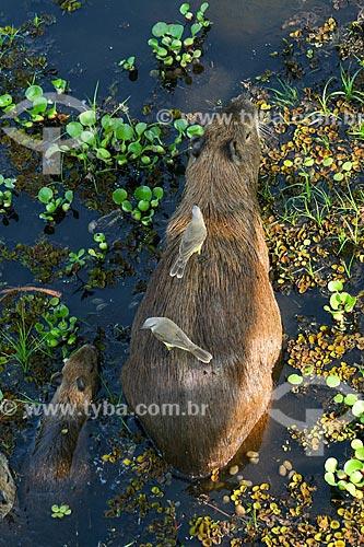 Capivara (Hydrochoerus hydrochaeris) com suiriri (Tyrannus melancholicus) no Pantanal Matogrossense  - Corumbá - Mato Grosso do Sul (MS) - Brasil