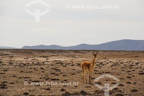 Lhama (Lama glama) próximo ao Salar de Uyuni  - Uyuni - Departamento Potosí - Bolívia