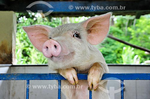 Curral com porco no Paraíba do Sul Hotel Fazenda  - Paraíba do Sul - Rio de Janeiro (RJ) - Brasil