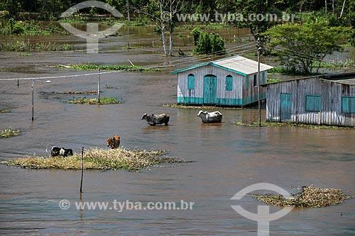 Casa e gado às margens do Rio Amazonas próximo à Urucará durante a época de cheia  - Urucará - Amazonas (AM) - Brasil