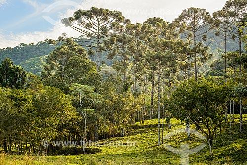 Araucárias (Araucaria angustifolia)  - Bocaina de Minas - Minas Gerais (MG) - Brasil