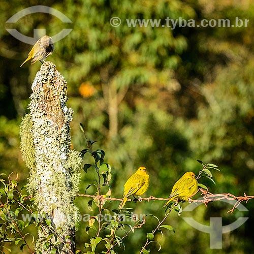 Bando de canários-da-terra-verdadeiro (Sicalis flaveola) - também conhecido como Chapinha e Canário-da-horta  - Bocaina de Minas - Minas Gerais (MG) - Brasil