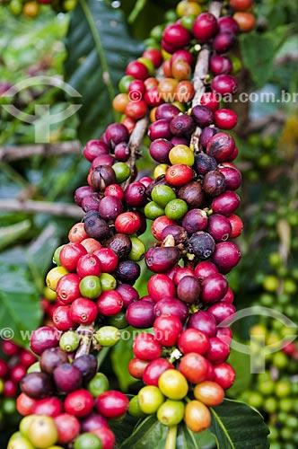 Detalhe de café ainda no cafezal próximo ao distrito de Piaçu  - Muniz Freire - Espírito Santo (ES) - Brasil