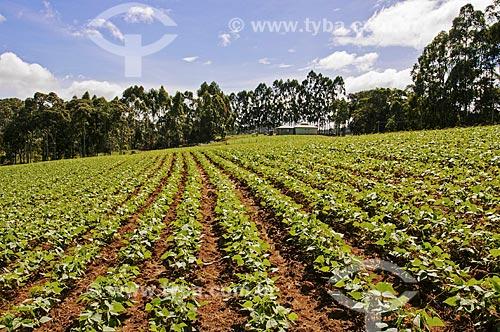 Vista geral de plantação feijão  - Venda Nova do Imigrante - Espírito Santo (ES) - Brasil