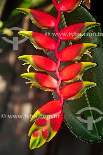 Flor da Heliconia (Heliconia rostrata)  - Niterói - Rio de Janeiro (RJ) - Brasil