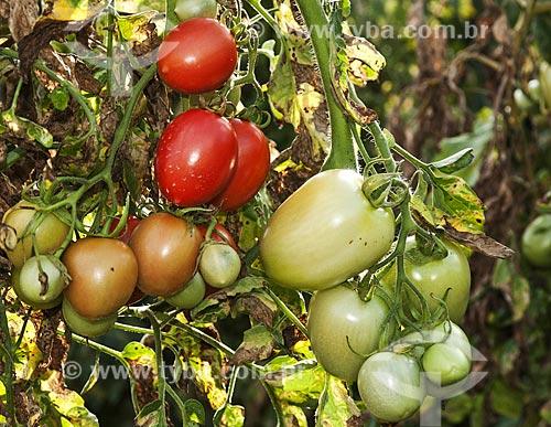 Tomates Italianos  - São José de Ubá - Rio de Janeiro (RJ) - Brasil
