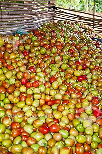 Colheita de Tomates Italianos  - São José de Ubá - Rio de Janeiro (RJ) - Brasil