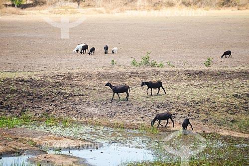 Cabras pastando e bebendo água  - Arara - Paraíba (PB) - Brasil