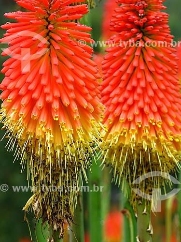Detalhe de flores da Lírio-tocha (Kniphofia uvaria) - também conhecido como tritoma  - Gramado - Rio Grande do Sul (RS) - Brasil