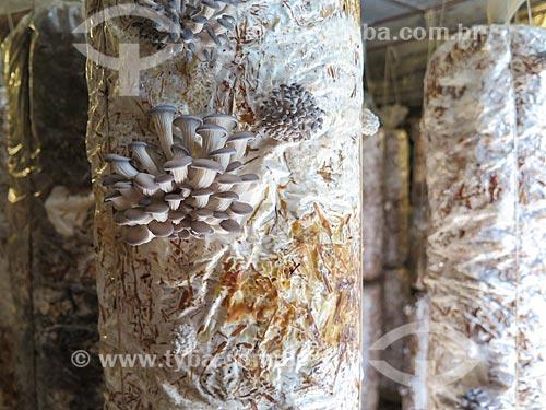 Detalhe de cultivo de cogumelo  - Gramado - Rio Grande do Sul (RS) - Brasil