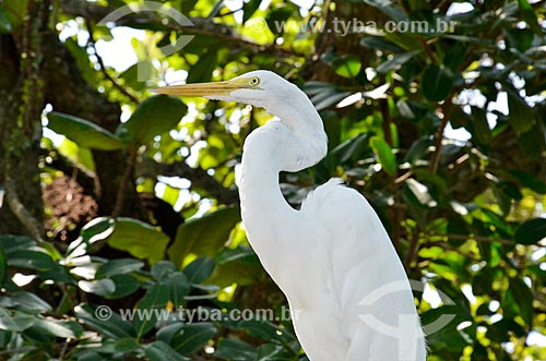 Detalhe de Garça-branca-grande (Ardea alba) na Lagoa Rodrigo de Freitas  - Rio de Janeiro - Rio de Janeiro (RJ) - Brasil