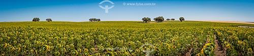 Plantação de girassol (Helianthus annuus)  - Concelho de Beja - Distrito de Beja - Portugal