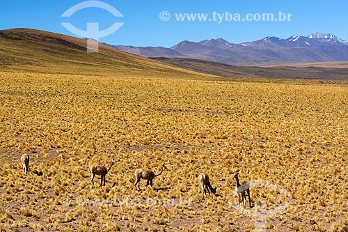 Guanacos (Lama guanicoe) pastando no deserto do Atacama  - San Pedro de Atacama - Província de El Loa - Chile